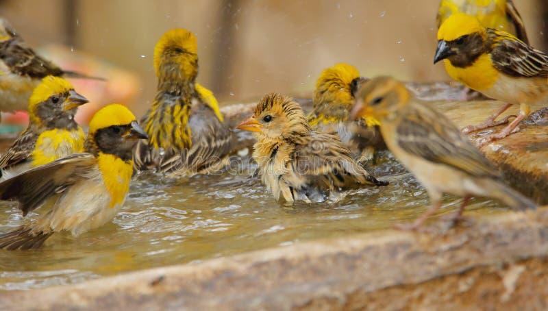 Familj av bayavävarefågeln arkivfoton