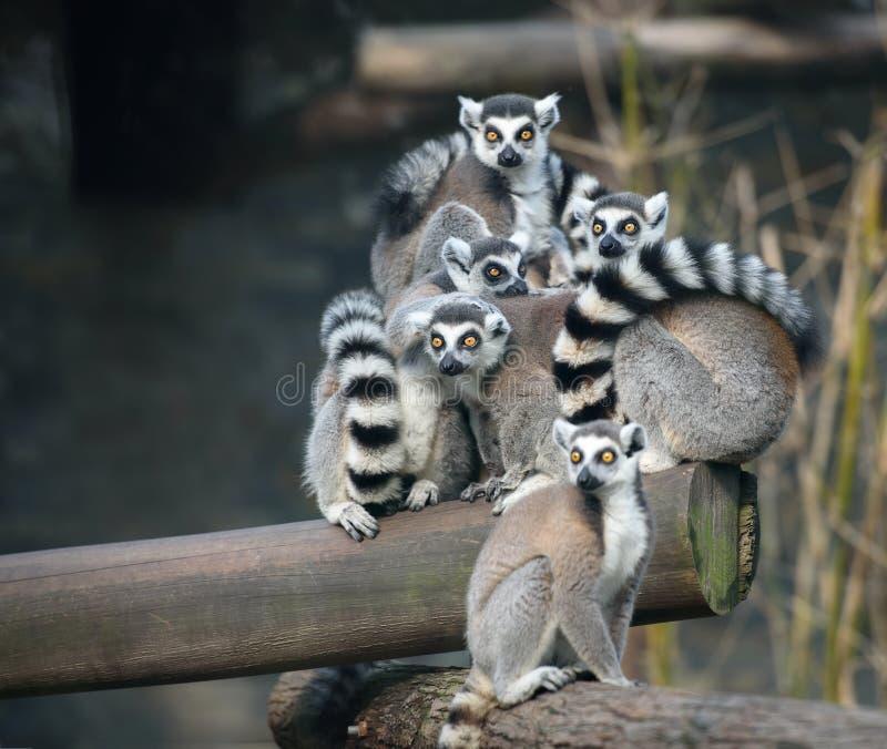 Familj av cirkel-tailed makier arkivbilder