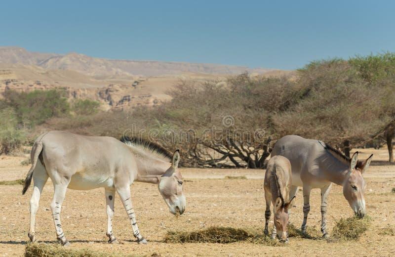 Familj av den somaliska lösa åsnaEquusafricanusen i naturreserv nära Eilat, Israel arkivbilder