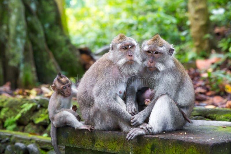 Familj av dentailed macaquen (Macacafascicularis) i sakral Mo royaltyfri bild