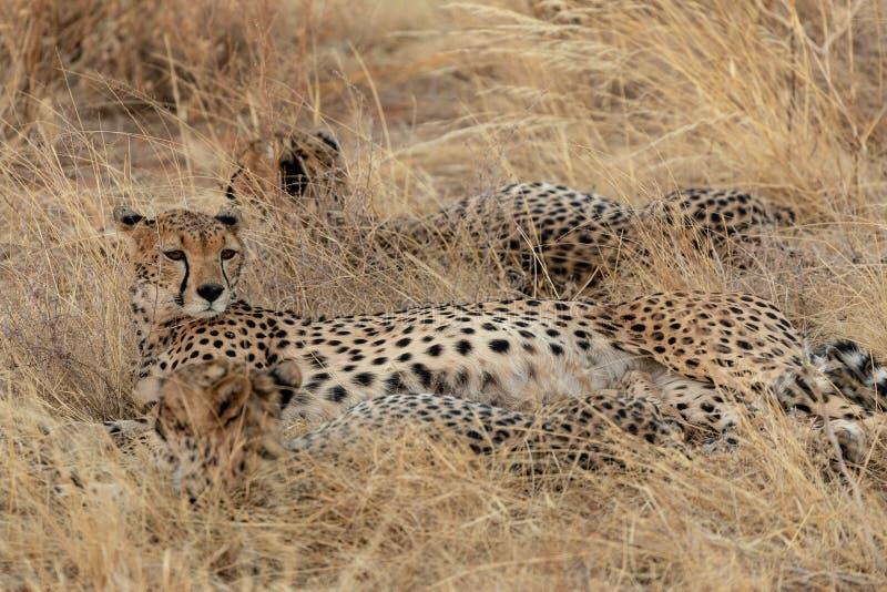 Familj av geparder, i grässlättarna, i Masai Mara, Kenya, Afrika royaltyfri foto