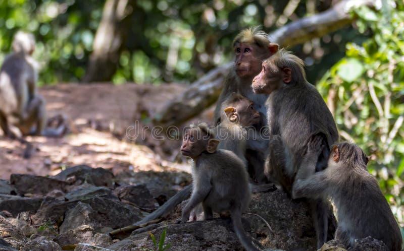 Familj av hättamacaquen i solljus och skuggor - Macacaradiata arkivfoton
