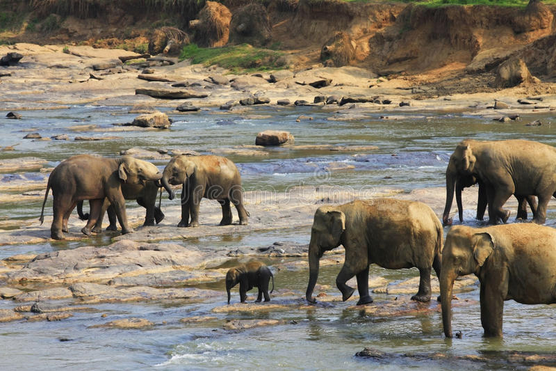 Familj av indiska elefanter arkivfoton