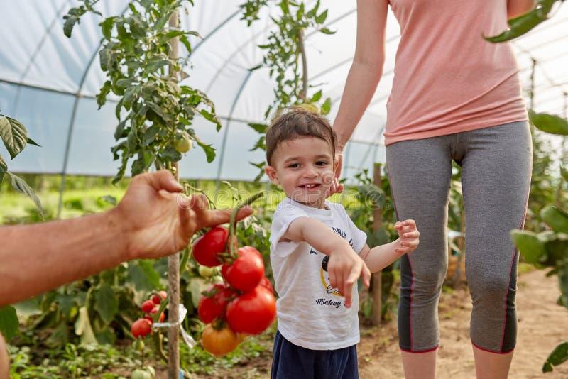 Familj av jordbrukare som plockar tomater arkivfoto