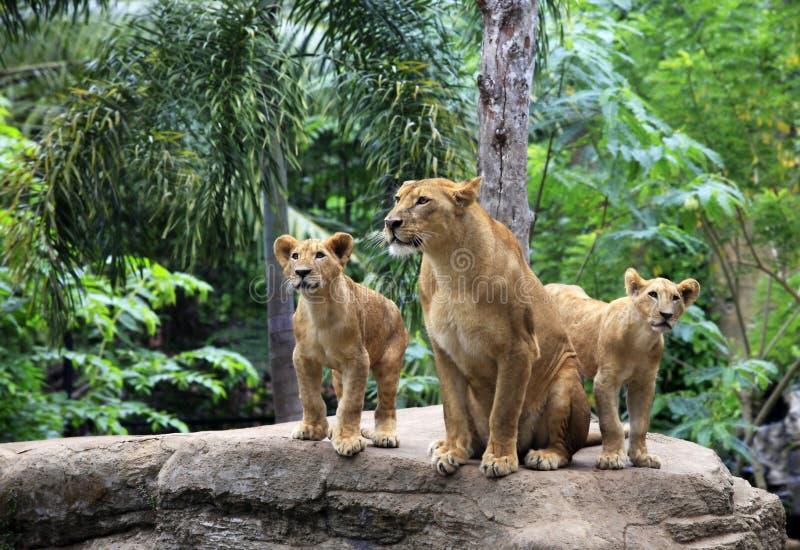 Familj av lejon arkivfoto