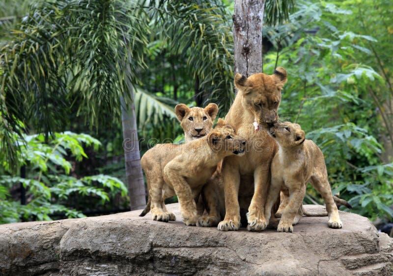 Familj av lejon royaltyfri fotografi
