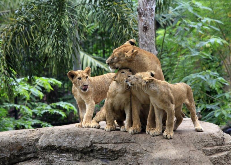 Familj av lions arkivfoton