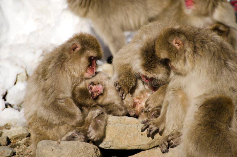 Familj av Macaquesnöapor i snön fotografering för bildbyråer