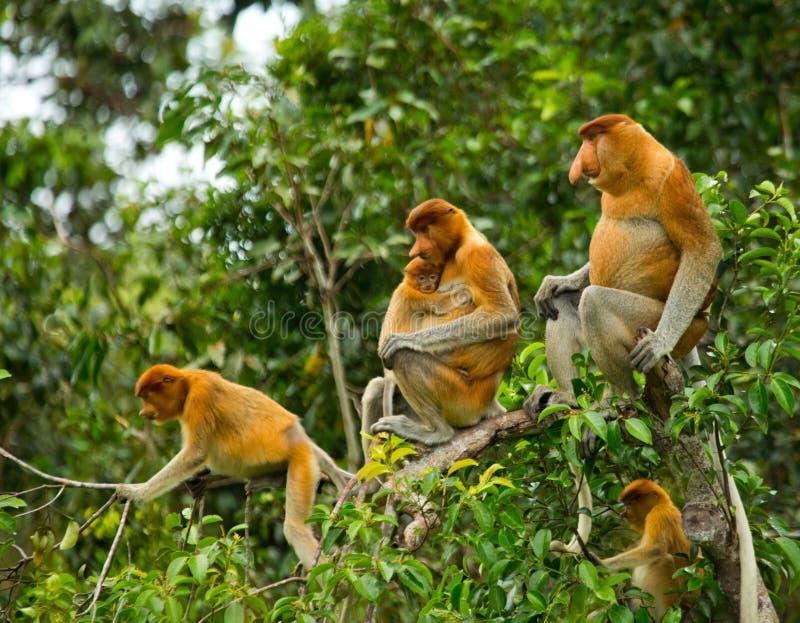 Familj av snabelapor som sitter i ett träd i djungeln Indonesien Ön av Borneo Kalimantan royaltyfri foto