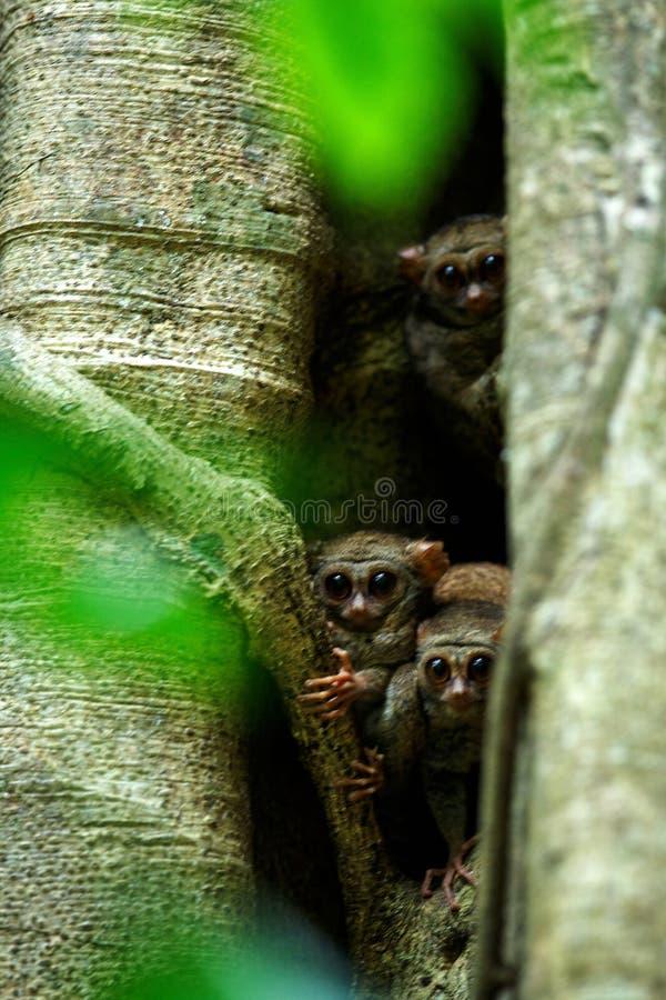 Familj av spektral- tarsiers, Tarsiusspektrum, st?ende av nattliga d?ggdjur f?r s?llsynt endemisk, liten gullig primat i stort fi royaltyfri fotografi
