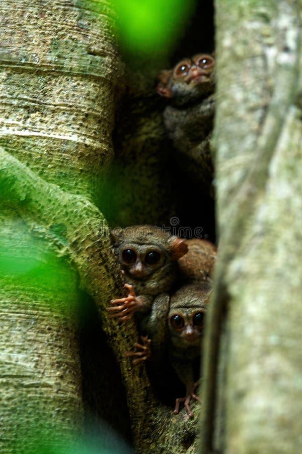 Familj av spektral- tarsiers, Tarsiusspektrum, st?ende av nattliga d?ggdjur f?r s?llsynt endemisk, liten gullig primat i stort fi royaltyfria bilder