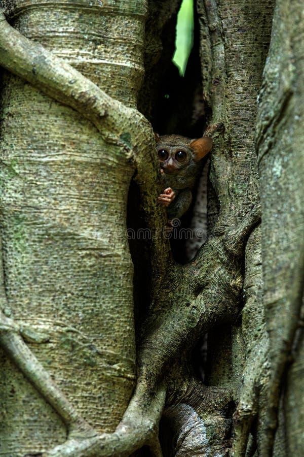 Familj av spektral- tarsiers, Tarsiusspektrum, st?ende av nattliga d?ggdjur f?r s?llsynt endemisk, liten gullig primat i stort fi arkivbilder