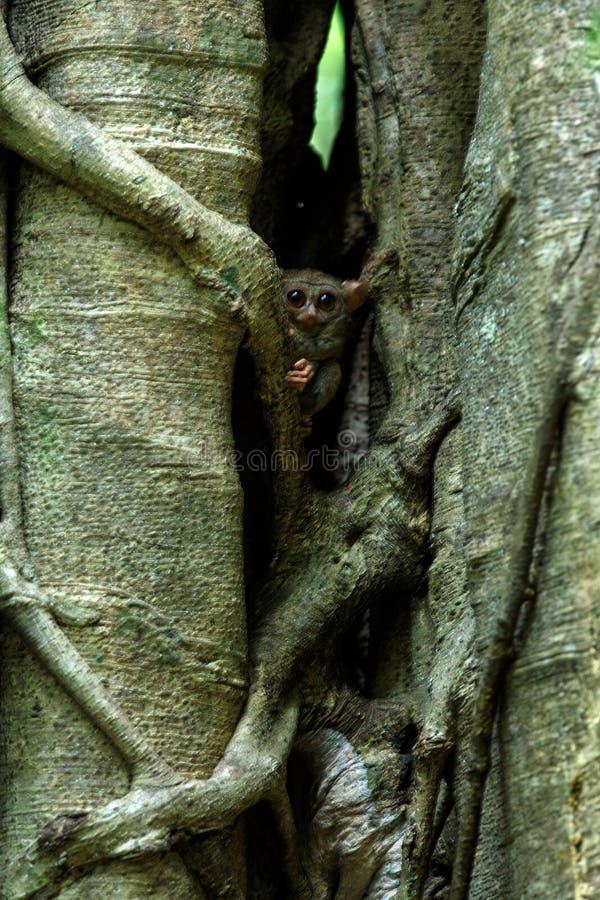 Familj av spektral- tarsiers, Tarsiusspektrum, st?ende av nattliga d?ggdjur f?r s?llsynt endemisk, liten gullig primat i stort fi fotografering för bildbyråer