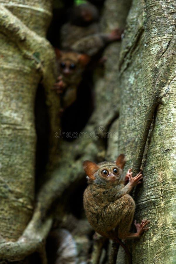 Familj av spektral- tarsiers, Tarsiusspektrum, st?ende av nattliga d?ggdjur f?r s?llsynt endemisk, liten gullig primat i stort fi royaltyfri bild