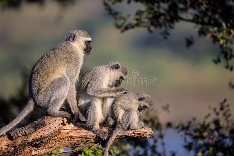 Familj av Vervet apor i den Kruger nationalparken royaltyfria foton