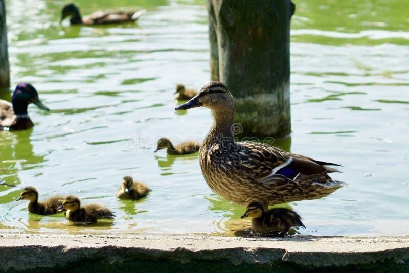 Familj av vilda ankor som simmar på en grön damm arkivfoton