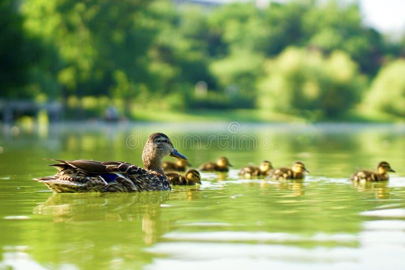 Familj av vilda ankor som simmar på en grön damm royaltyfria foton