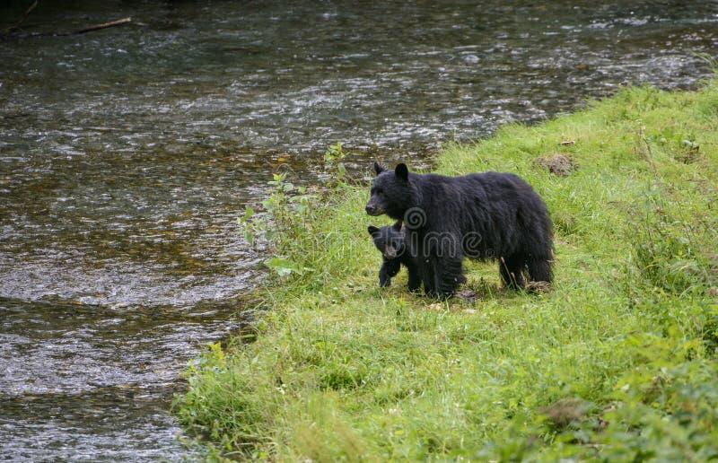 Familj för svart björn royaltyfri bild