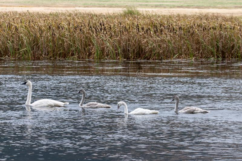 Familj för trumpetaresvan som tillsammans simmar i Wyoming arkivfoton