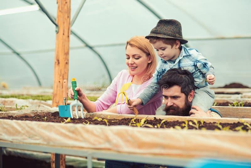 Familj som tillsammans arbetar i växthus Pappa med den stilfulla skägginnehavsonen sitted på hans skuldror, medan mumen visar hur arkivbild