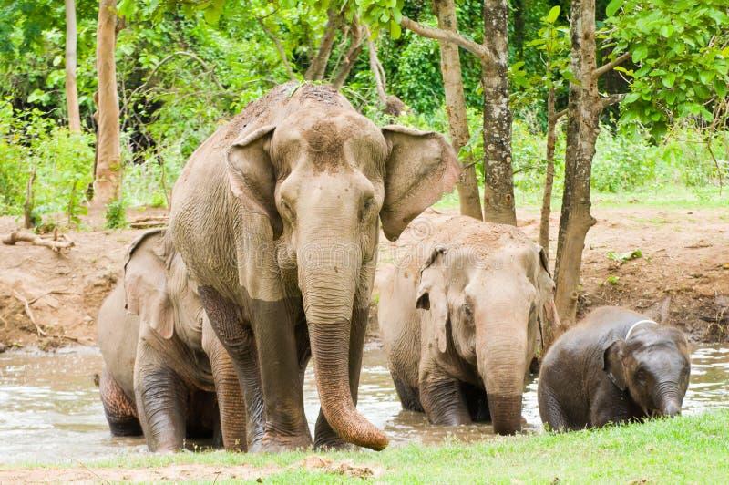 Familjen av elefanten i skogen arkivbild