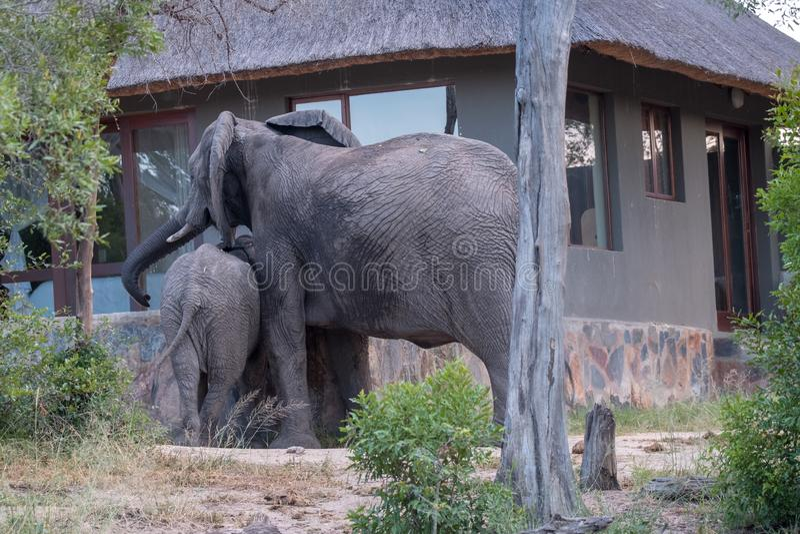 Familjgrupp av elefantdricksvatten från en dykningpöl på ett privat läger i Sabi Sand Game Reserve, Sydafrika royaltyfri bild