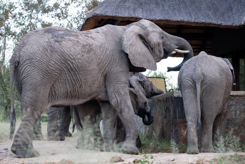Familjgrupp av elefantdricksvatten fr?n en dykningp?l p? ett privat l?ger i Sabi Sand Game Reserve, Sydafrika royaltyfri fotografi