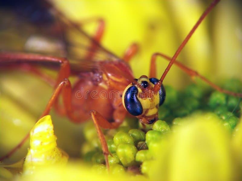 familjichneumonidaeophion fotografering för bildbyråer