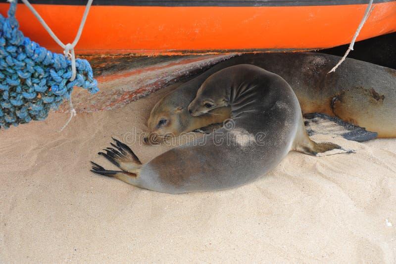 Familjmamman och behandla som ett barn sjölejon som huka sig ned försiktigt och sovas under fartyget royaltyfri bild