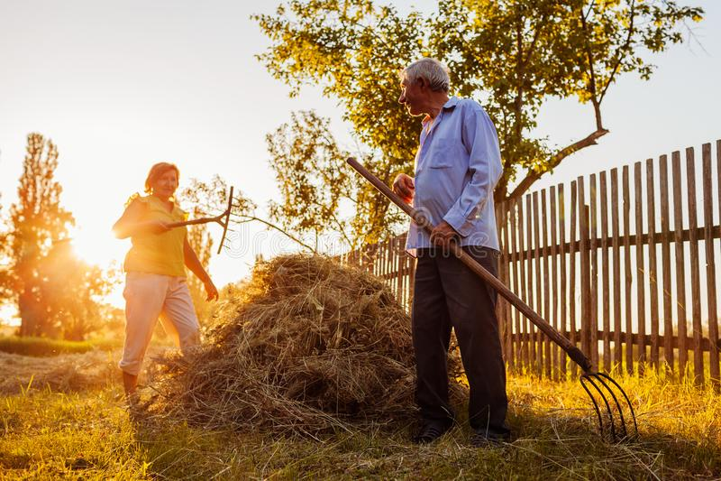 Familjpar av bönder samlar hö med högaffeln på solnedgången i bygd Arbetsam folkpratstund royaltyfri fotografi