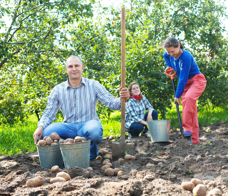 Familjplockningpotatisar i trädgård arkivfoton