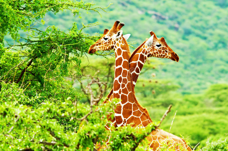 Famille africaine de giraffes photos stock