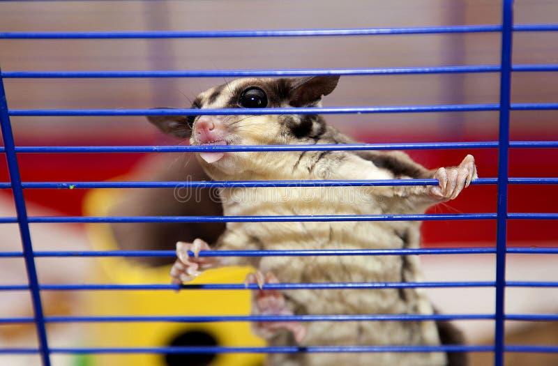 Famille animale de graine australienne de sucre de protéines photographie stock libre de droits