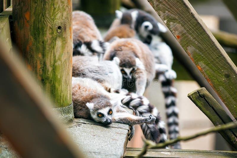 famille Anneau-coupée la queue de lémurs photos libres de droits