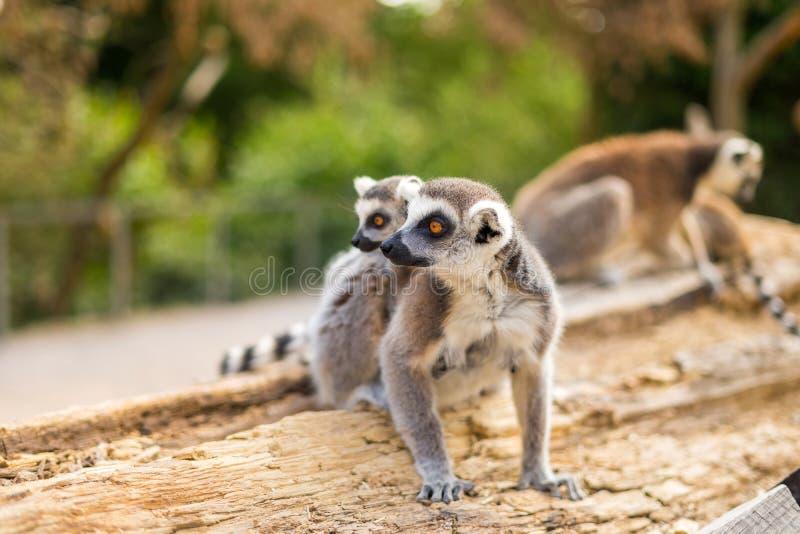 Famille Anneau-coupée la queue drôle de lémur photo stock