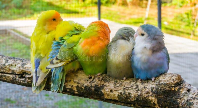 Famille câline des perruches se reposant étroitement ensemble sur une branche image stock