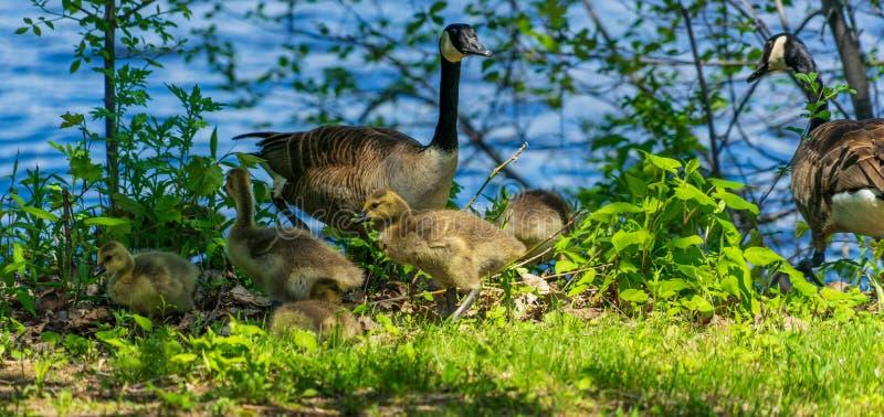 Famille canadienne d'oie près de la rivière à Montréal photos stock