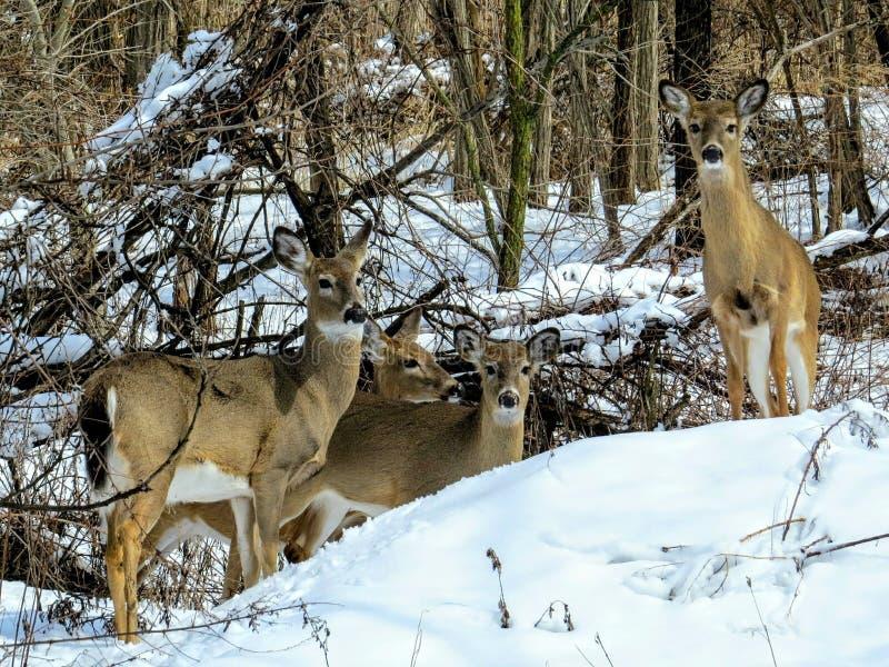 Famille coupée la queue blanche de cerfs communs ensemble dans la neige image stock