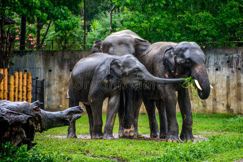 Famille d'éléphant sous la pluie, myanmar photos stock