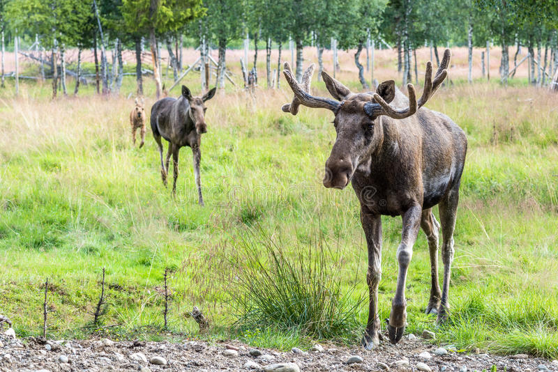Download Famille D'élans Sur Une Hausse (canadensis De Cervus) Image stock - Image du deer, élans: 76083241