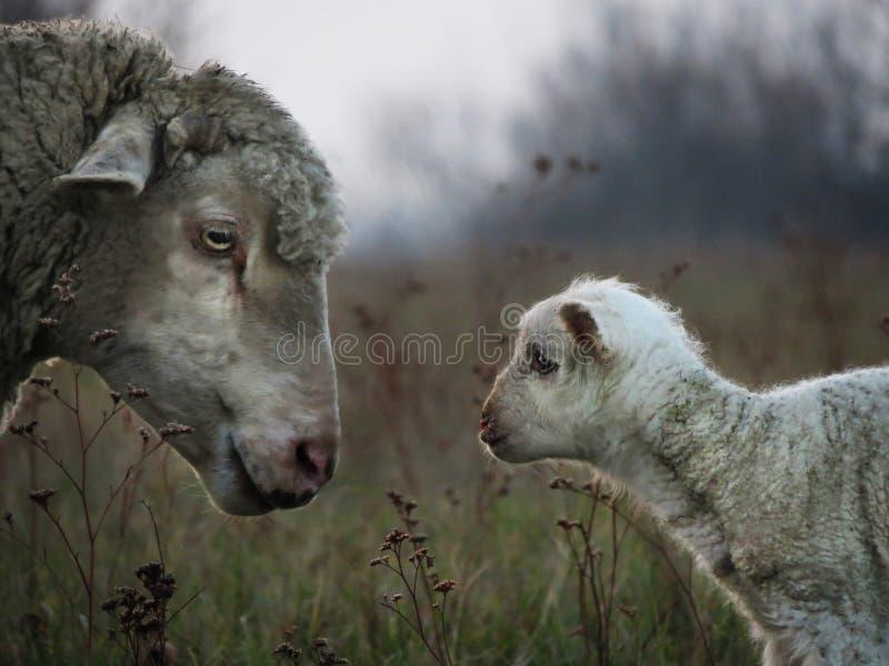 Famille d'agneau photographie stock libre de droits