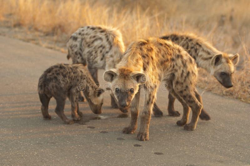 Famille d'hyène photo stock