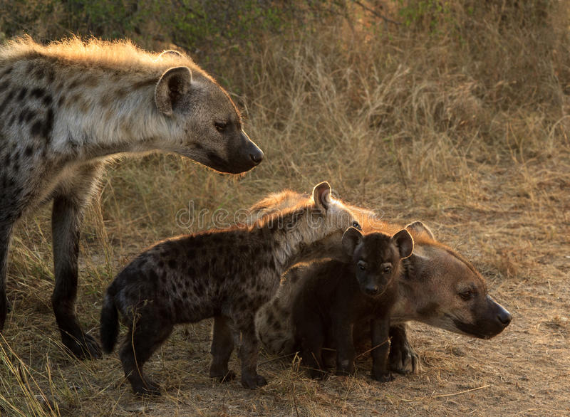 Famille d'hyène avec des petits animaux images stock