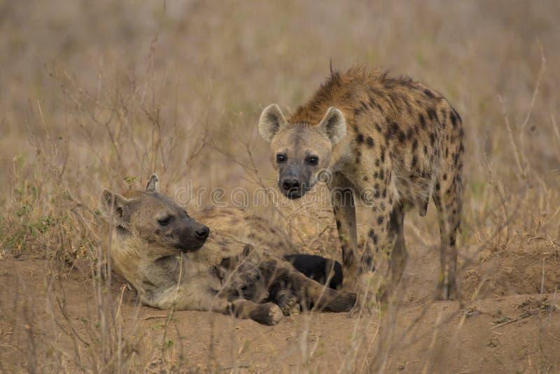 Famille d'hyène près de Nairobi photos libres de droits