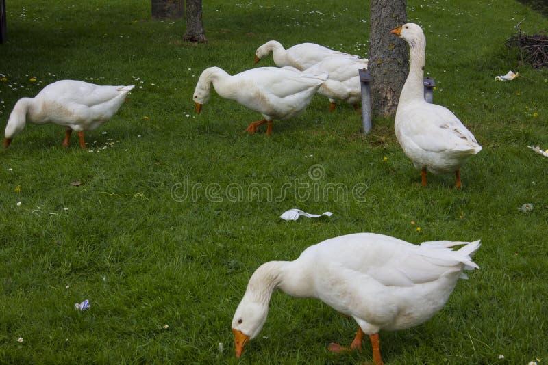 Famille d'oie image libre de droits