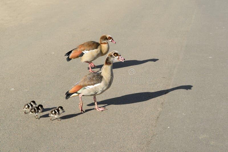 Famille d'oie photo libre de droits