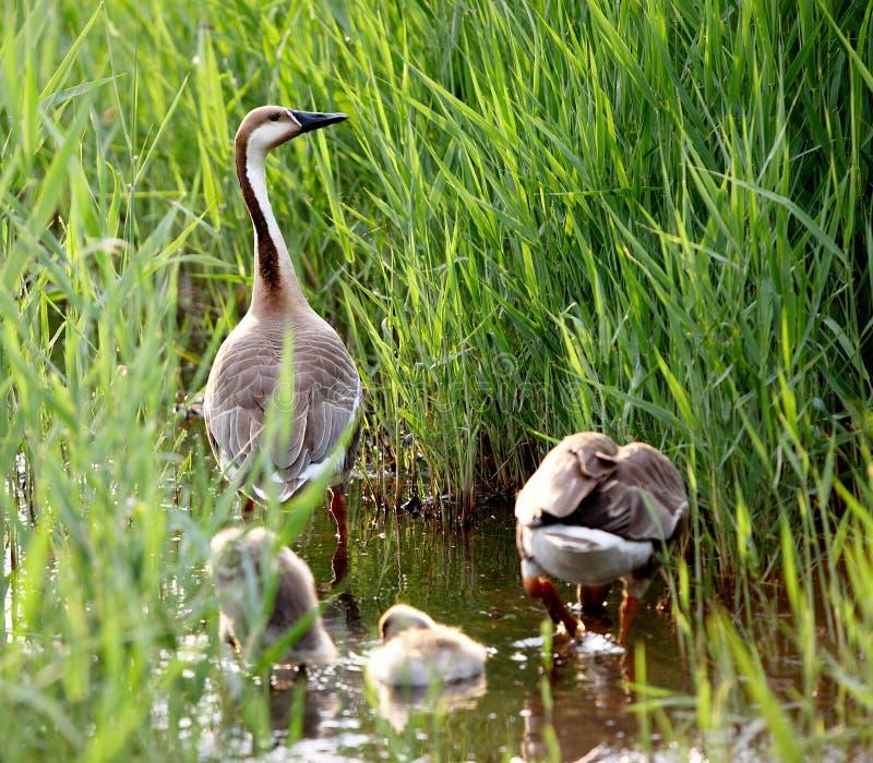 Famille d'oie photographie stock libre de droits