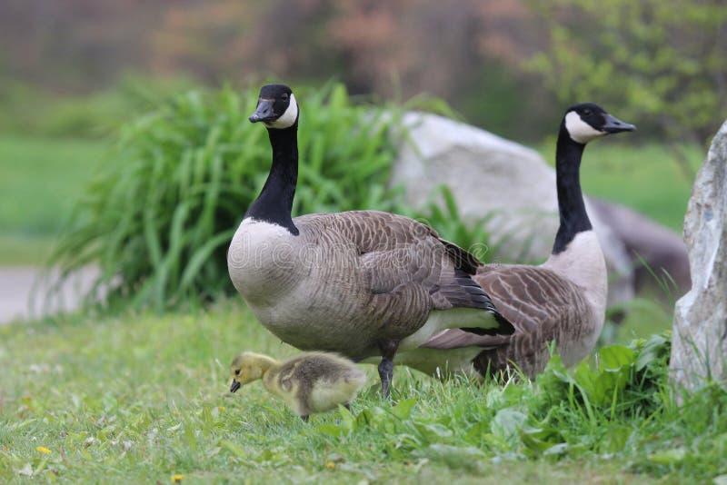 Famille d'oie de Canada photographie stock