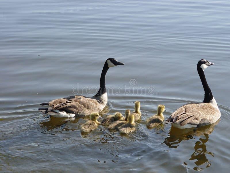 Famille d'oies images libres de droits