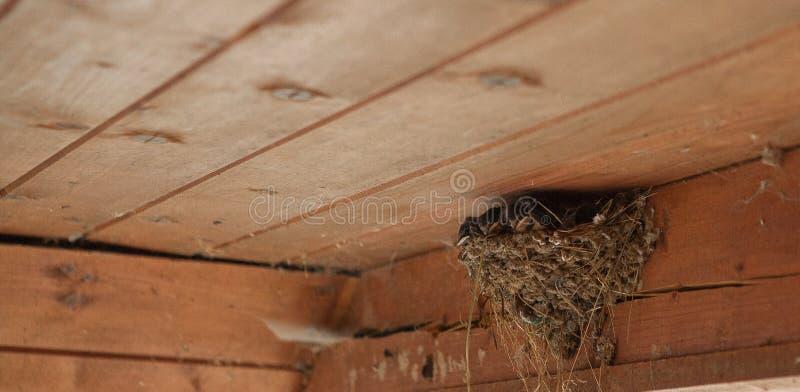 Famille d'oiseau au nid alimentant de petits oiseaux, nouveaux-nés Hirondelle protégeant les oiseaux nouveau-nés à l'intérieur de photos libres de droits